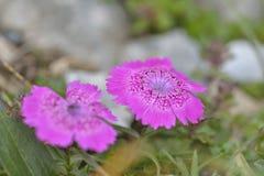 地方性桃红色花在Piatra Craiului山仅发现了 库存照片