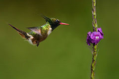 地方性白有顶饰蜂鸟在哥斯达黎加 免版税库存照片