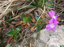 地方性高山植物(樱草属glaucescens Moretti) 免版税库存照片
