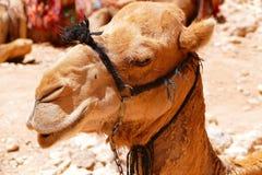 地方流浪的` s骆驼的特写镜头旁边外形面孔在Petra古老阿拉伯人Nabataean市,约旦 免版税库存照片