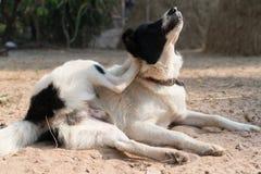 地方狗黑白放下在锻炼瑜伽的沙子 免版税库存图片