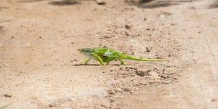 地方病&在坦桑尼亚威胁了Usambara两有角的变色蜥蜴Kinyongia multituberculata 免版税库存照片