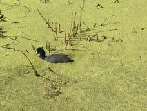 地方野生生物在麋鹿岛国家公园的Astotin湖在阿尔伯塔 库存图片