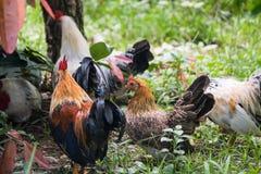 地方鸡 免版税库存照片