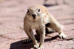 地松鼠南非 免版税库存照片