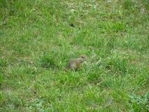 地松鼠在斯皮城堡,斯洛伐克 库存图片