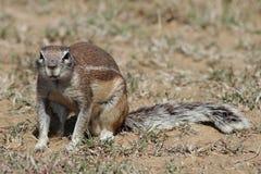 地松鼠星期日 免版税库存图片