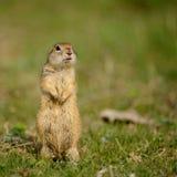 地松鼠站立在草的地面松鼠类pygmaeus 免版税库存图片