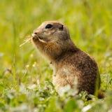 地松鼠站立在草的地面松鼠类pygmaeus 库存照片