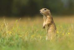 地松鼠身分 库存照片