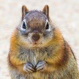 地松鼠-被覆盖的金黄 图库摄影