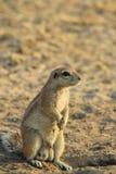 地松鼠-非洲野生生物背景-控制权和自豪感 免版税库存图片