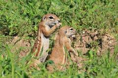 地松鼠-从非洲的野生生物背景-滑稽的自然 免版税库存照片