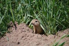 地松鼠 库存照片