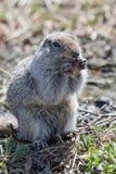 地松鼠 免版税库存图片