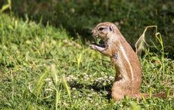 地松鼠 免版税库存照片