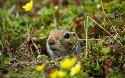 地松鼠 图库摄影