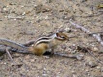 地松鼠& x28; Chipmunk& x29; 免版税库存照片