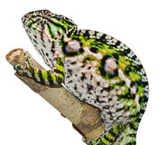 地毯变色蜥蜴 免版税库存照片