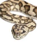 地毯墨瑞利亚Python spilota variegata 免版税图库摄影
