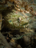 地毯鳗鱼粘鱼- Congrogadus subducens 免版税库存照片