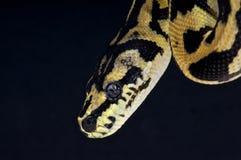 地毯Python 图库摄影