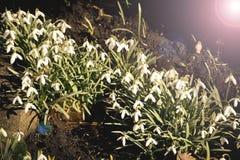地球上的第一朵春天花 春天来 免版税库存照片