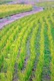 地球上的米领域 库存照片