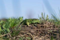 地球上的蜥蜴 免版税库存图片