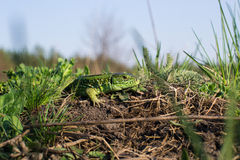 地球上的蜥蜴 库存图片