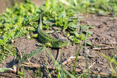 地球上的蜥蜴 免版税库存照片