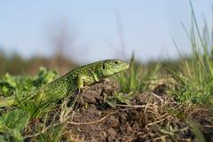 地球上的蜥蜴 免版税图库摄影
