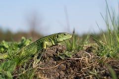 地球上的蜥蜴 库存照片