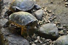 地球乌龟 免版税库存照片