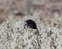 地球乏味金龟子甲虫 图库摄影