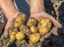 从地球新近地开掘的土豆 图库摄影