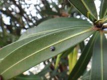 地球明显的瓢虫在夹竹桃植物中 免版税库存图片