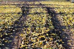 地球的表面,报道用黄色菩提树叶子在秋天在叶子秋天以后 汽车的踪影 免版税库存照片
