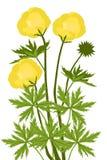 地球花(金莲花europaeus) -例证 免版税库存图片