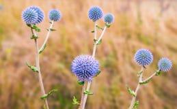 地球蓟开花刺头属ritro野生植物 免版税库存照片