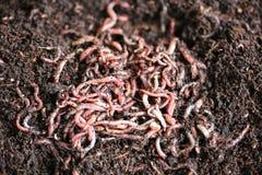 地球蠕虫 图库摄影