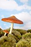 地精伞菌 库存图片