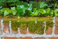 地衣和常春藤细节在砖墙上 免版税库存照片