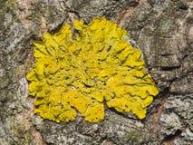地衣在白杨木树皮宏指令,选择聚焦的Xanthoria parientina 免版税库存图片