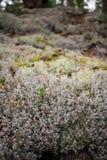 地衣& x28; Lichenes& x29; 库存照片