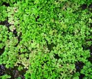 地被植物多汁植物 免版税图库摄影