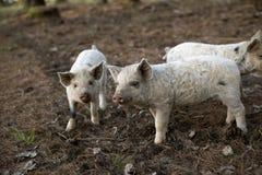 地道Turopolje猪婴孩 库存照片