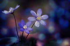 地钱在春天森林里开花Hepatica nobilis 库存图片