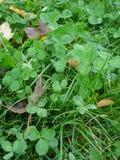 在草坪的满地露水的三叶草叶子 免版税库存图片