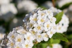 满地露水的开花的灌木新娘花圈spirea 库存照片